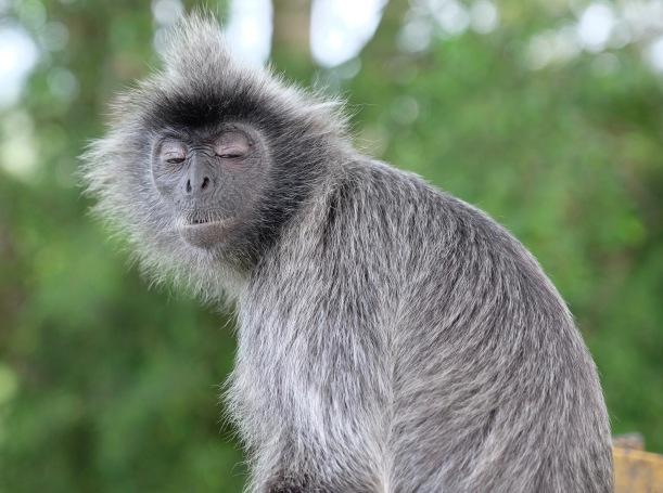 A sleepy Silverleaf Monkey at Kuala Selangor