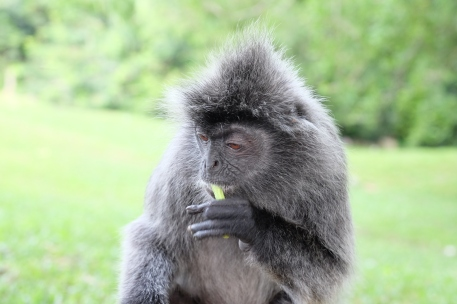 A large number of Malaysian tourists come to Kuala Selangor every weekend from Kuala Lumpur to see the picturesque lighthouse, Silverleaf Monkeys (pictured) and the fireflies.