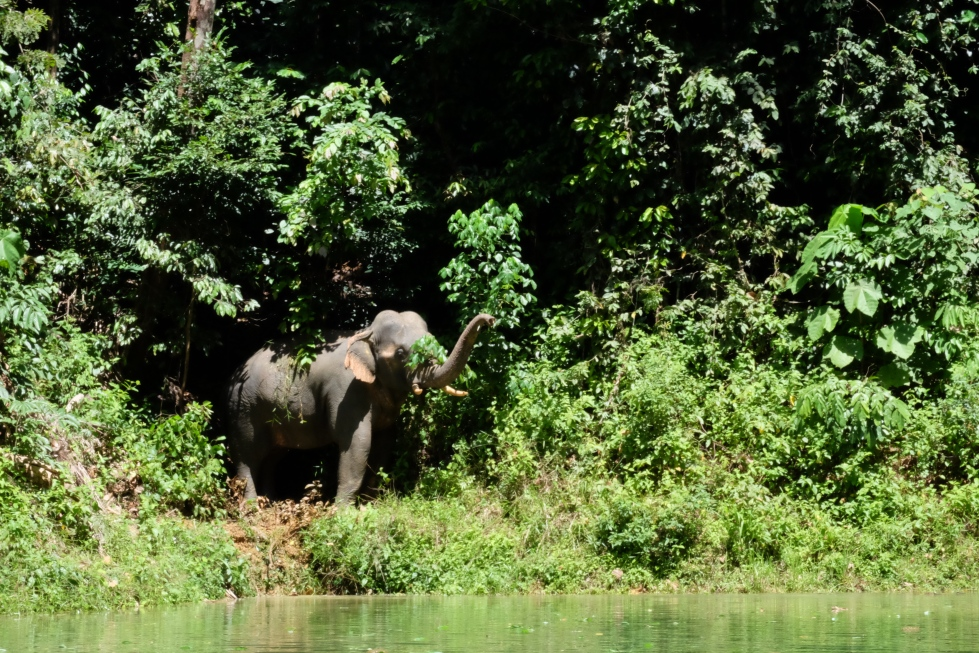 Temengor Lake_Elephant