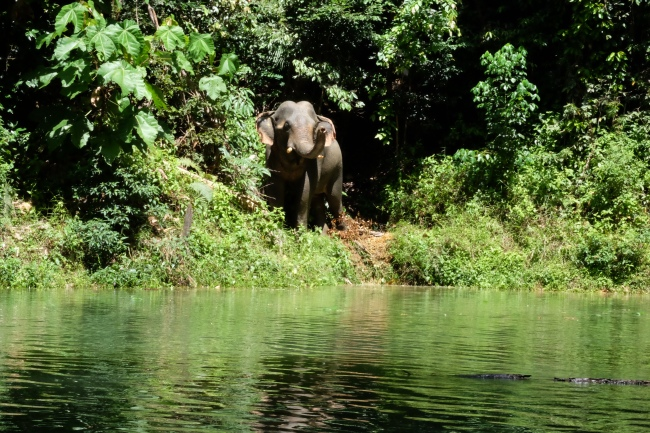 Adolescent male asiatic elephant