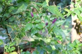 Tropical Spice Garden - purple chilli peppers