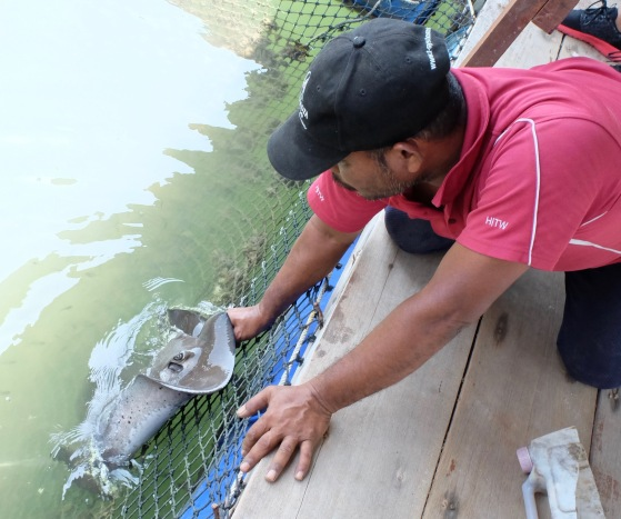 Feeding a stingray at fish farm