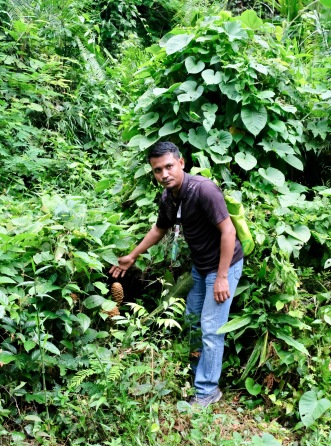 Guide in TN rainforest shows wild ginger plant
