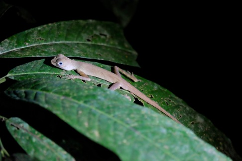 Taman Negara Lizard at night