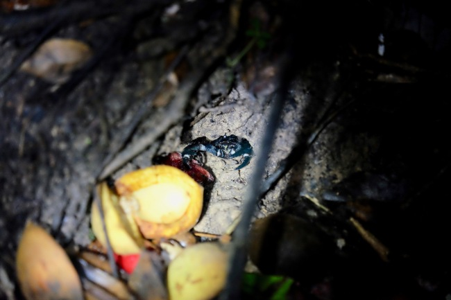 Taman Negara Nightwalk - fauna - Scorpion
