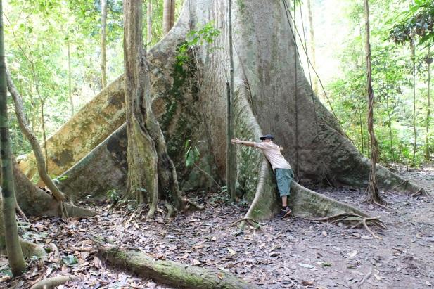 Tualang tree_2
