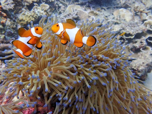 "Marine fauna at Perhentian - Tanjung Basi - photo credit: ""Below The Surface Dive Centre"""