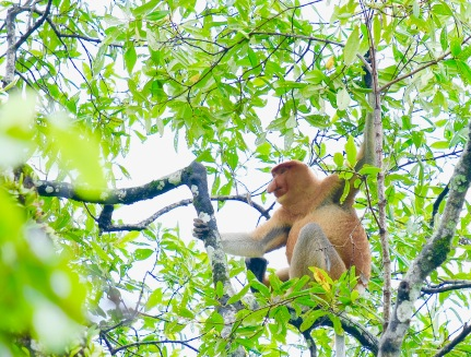 Proboscis Monkey - Bako National Park