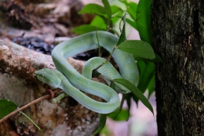 Green Viper - Bako National Park