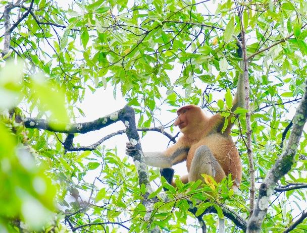Proboscis Monkey in Bako National Park