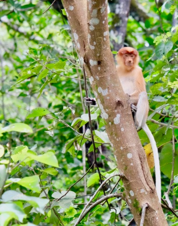 Proboscis Monkey in Bako National Park