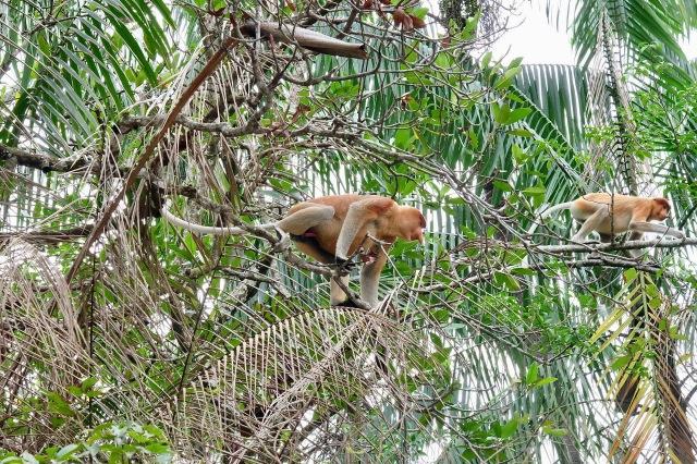 Proboscis Monkeys in Bako National Park