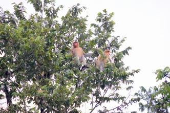Proboscis Monkeys - Kinabatangan