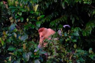 Proboscis Monkey - Kinabatangan