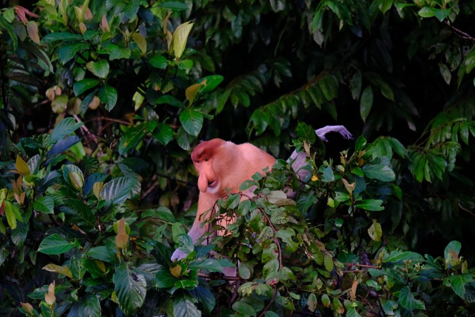 Kinabatangan Proboscis Monkey 7