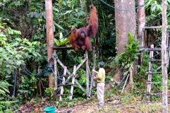 Semenggoh orangutan 13
