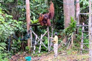 Semenggoh orangutan 14