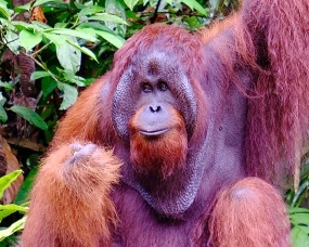 Dominant male orangutan at Semenggoh reserve