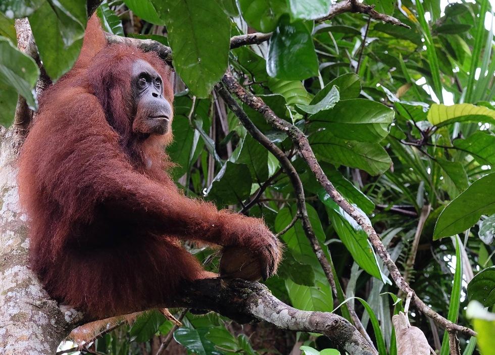 Semenggoh orangutan 4