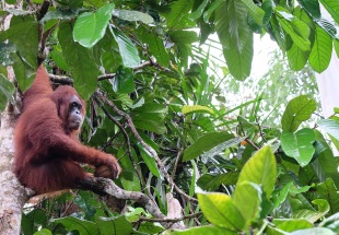 Orangutan at Semenggoh reserve in Sarawak