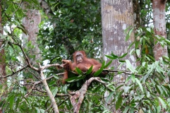 Orangutan in nest, at Semenggoh reserve in Sarawak
