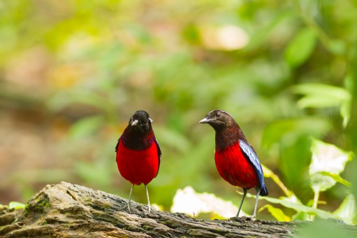 Black _ crimson pitta.