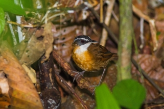 Black capped babbler