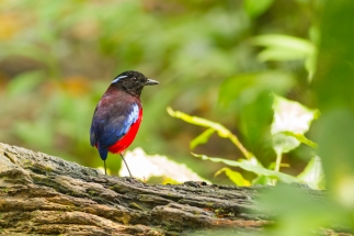 Blue banded pitta