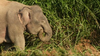 Borneo pygmy elephant (1)