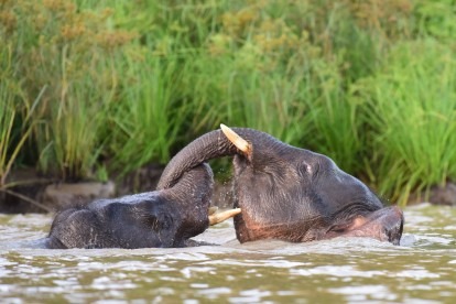 Borneo pygmy elephant (11)