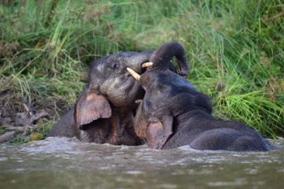 Borneo pygmy elephant (13)
