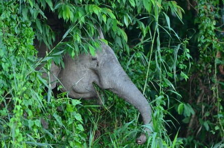 Borneo pygmy elephant (16)