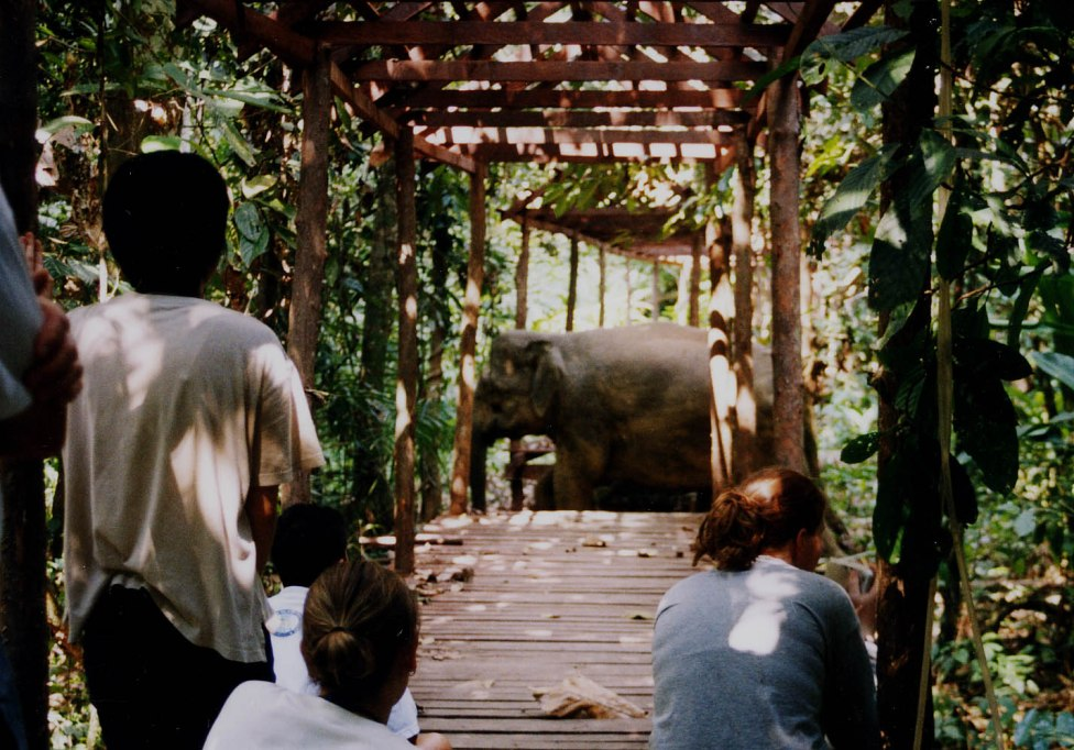 Borneo pygmy elephant (17)