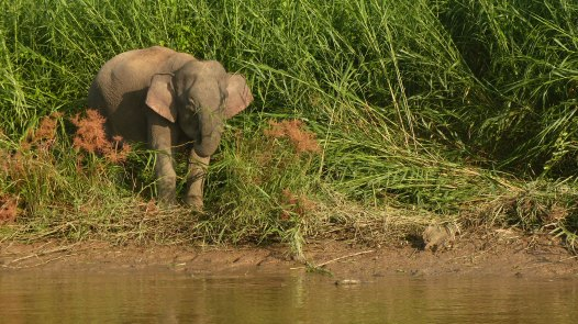 Borneo pygmy elephant (18)