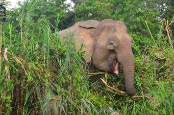 Borneo pygmy elephant (2)