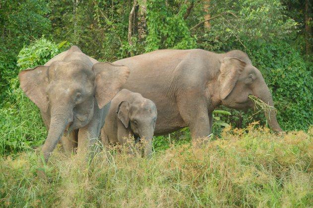 Borneo pygmy elephant (4)