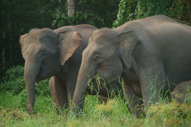 Borneo pygmy elephant (5)