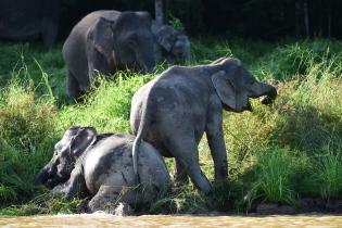 Borneo pygmy elephant (6)