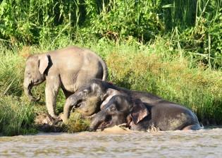 Borneo pygmy elephant (7)