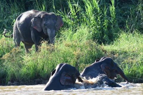 Borneo pygmy elephant (8)