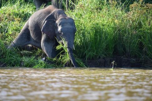 Borneo pygmy elephant (9)