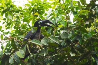 Bushy crested hornbill (1)