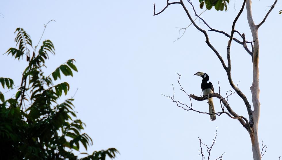 Hornbill-2