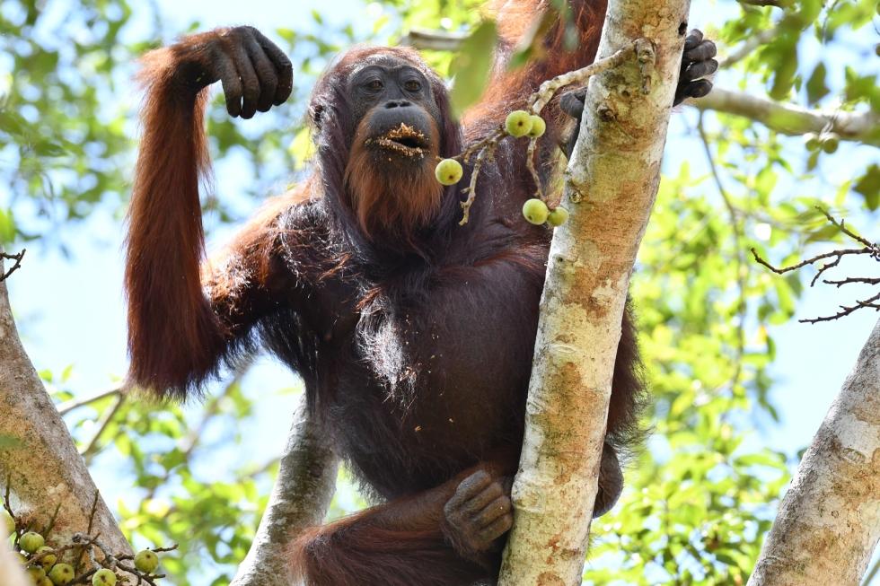 Kinabatangan Orangutan 3