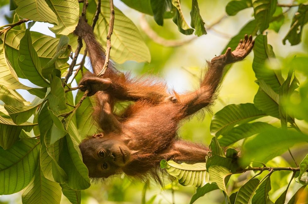 orangutan kinabatangan 5