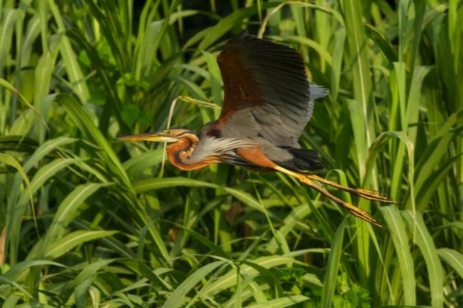 Purple heron (1)