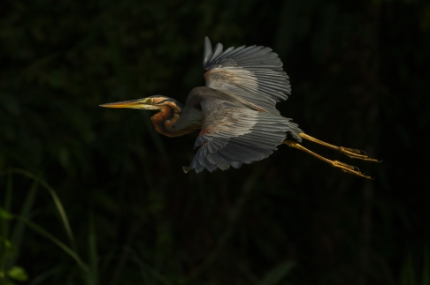 Purple heron (2)