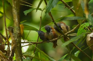 Rufous-winged philentoma
