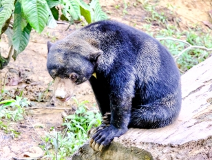 Sun Bear at the Bornean Sun Bear Conservation Centre (BSBCC)