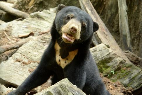 sun bear5